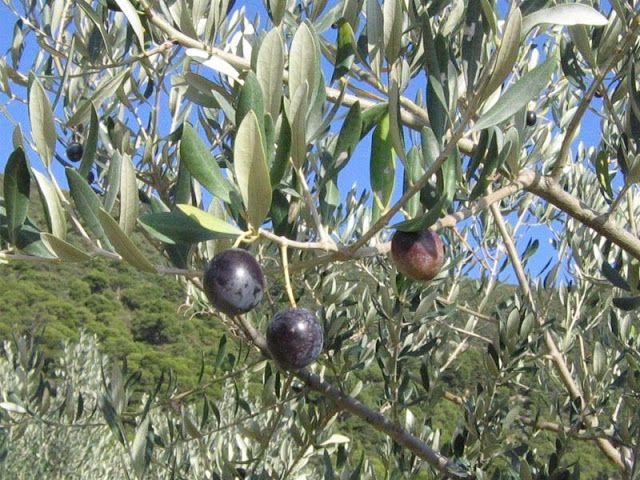RESTAURANTS AND FOOD: Olives beyond Tuscany. Buffalo Return To Toons Bri...