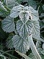 Frost on a nettle