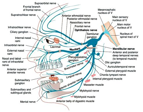 I got a question recently about how to remember the different branches of  cranial nerve #5, the trigeminal nerve (shown at right). I thought I'd  share my response here for any others interested. It's a beast of a nerve  and no doubt gives most medical students headaches. I do, however, think  memory palaces work really well for this type of thing. Let's get into it!