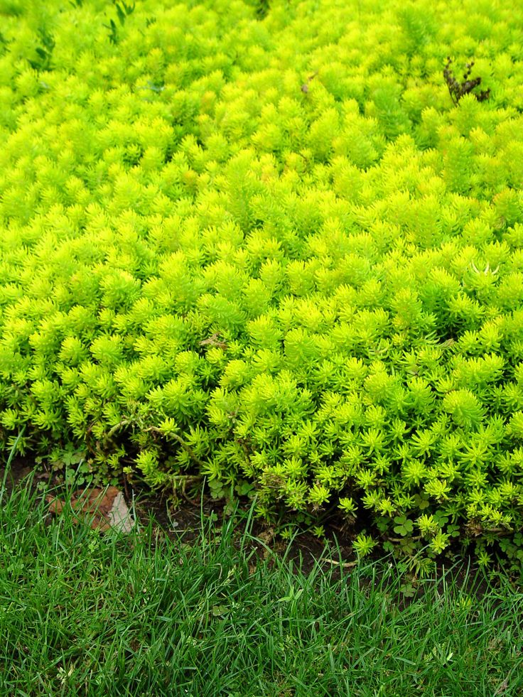 Find This Pin And More On Pam S Sedum Angelina Groundcover Evergreen Yellow Flowers