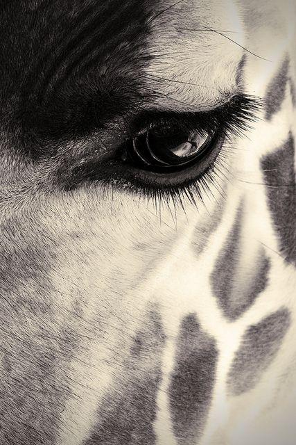 up close. #giraffe