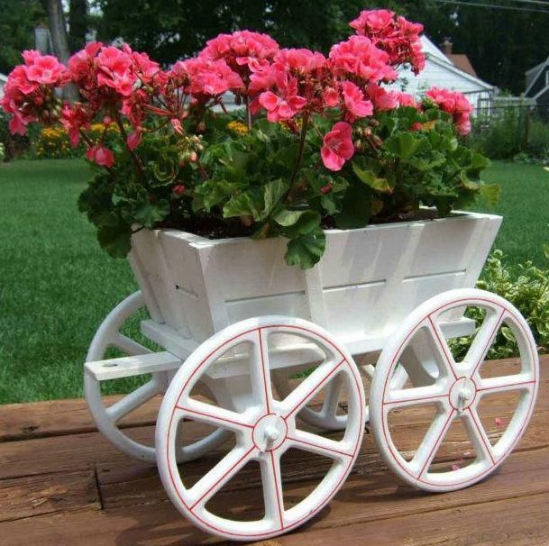 A wheelbarrow of geraniums