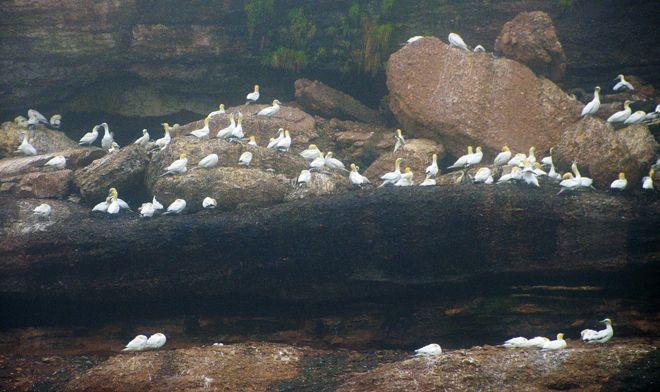 """Masses of nesting gannets on the cliffs"""