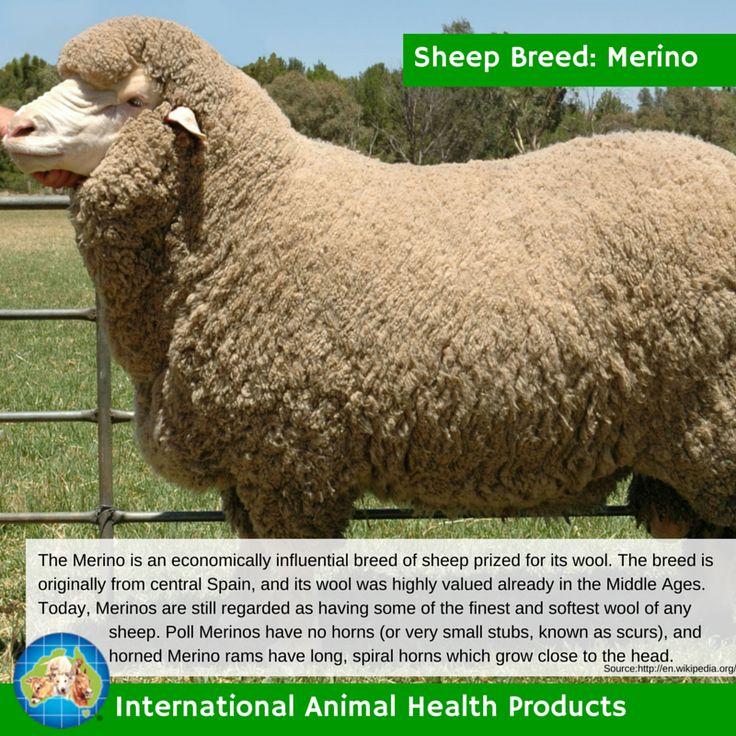 #merinosheep #merino #sheep #wool #merinowool #ram #ewe #lamb #sheepbreed #breed #facts #green #iah #iahp #internationalanimalhealth #poultry #animal #facts #breeds #livamol #protexin