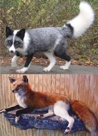 THE FRIENDLY FOX - Color variations