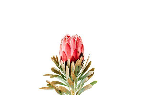 Protea Flower In 2020 Protea Flower Flower Prints Art Watercolor Plants