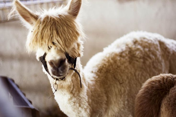 Funny Alpacas With Awesome Amazing Hilarious Hair Alpacas - 22 hilarious alpaca hairstyles