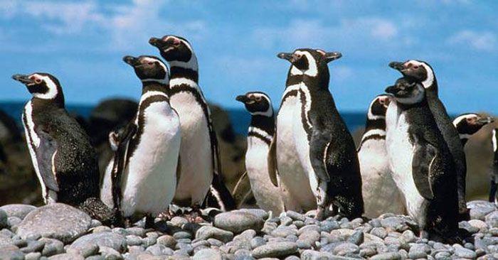 pinguim-de-magalhaes.jpg (700×366)