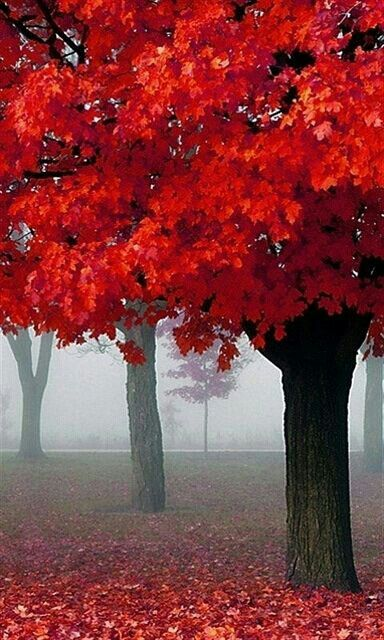 Some red trees, this looks somewhat photoshopped as the deep red doesn't look realistic.                                                                                                                                                                                 Mais