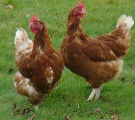 Remèdes naturel pour vos poules