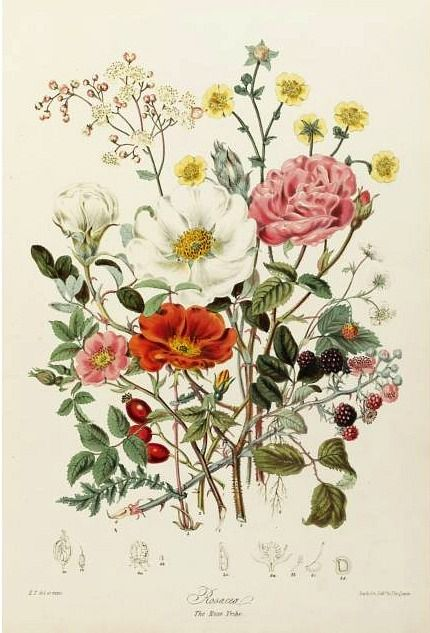 "stilllifequickheart: "" Elizabeth Twining Illustrations of the Natural Orders of Plants 1849-55 """