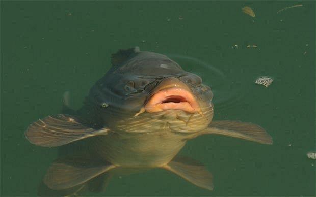 The carp in Lac Corbu