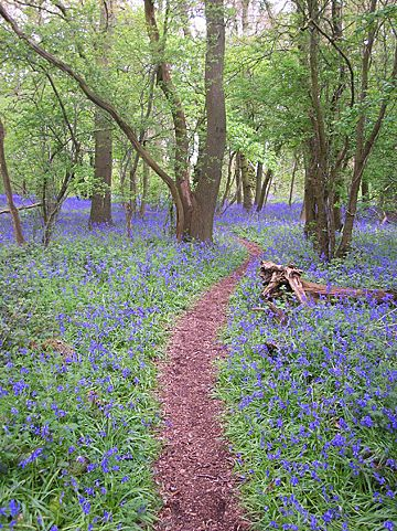 Hagbourne Copse, Blagrove, Swindon - Beautiful Bluebell Garden.