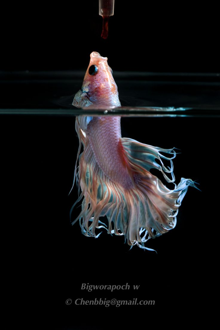 47 best beta fish images on pinterest beta fish betta for Betta fish feeding