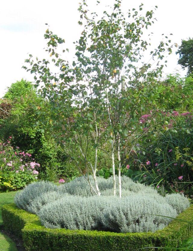 Multi stemmed silver birch