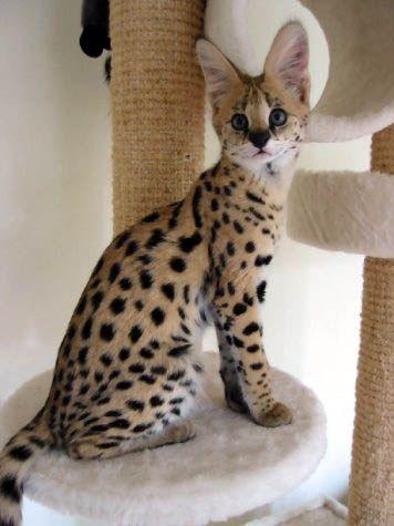 African Serval Kitten (The Serval Conservation Organization)