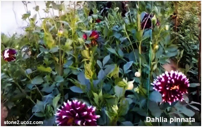 انواع نبات داليا او الاضالية او اضاليا الدهلية Dahlia قوائم النبات قوائم النبات معلومات نباتية وسمكية معلوماتية Plants