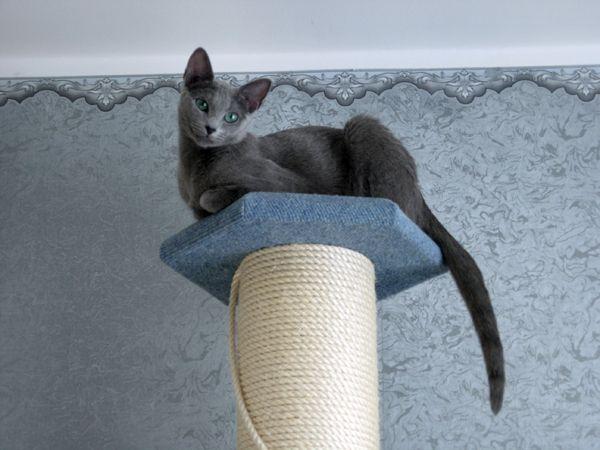 CATS-форум :: Просмотр темы - Русские голубые кошки