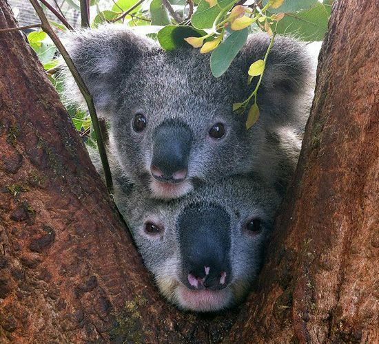 Inquisitive Koalas