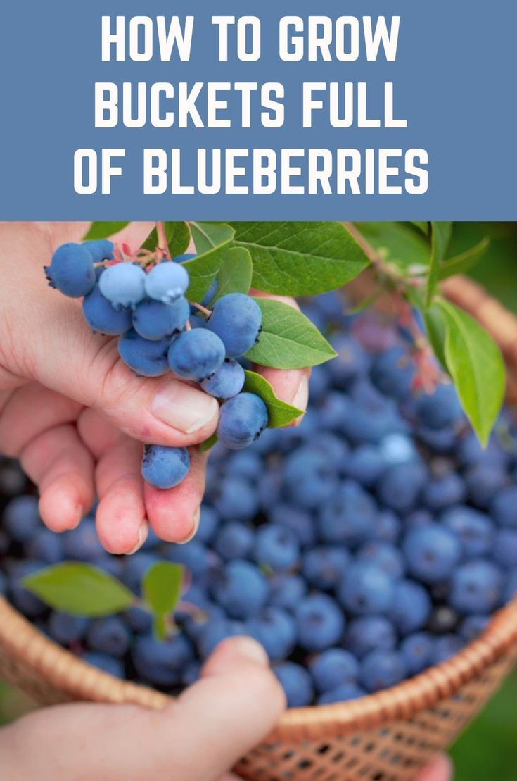 How to grow buckets full of blueberries no matter where