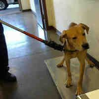 Pictures of BOGGS a Labrador Retriever for adoption in Phoenix, AZ who needs a loving home.