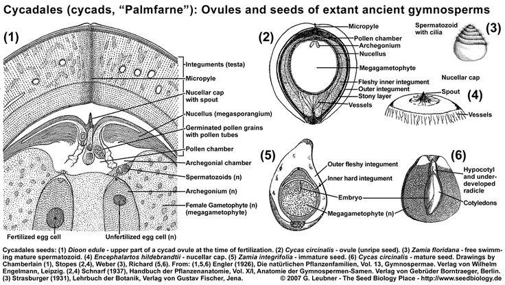 Cycadales seed