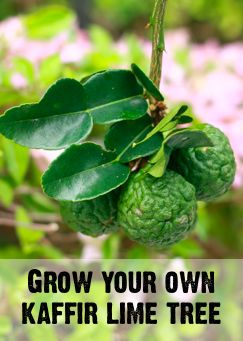 learn how to grow a health kaffir lime tree in your home or outdoors