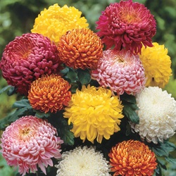 Football Mums - perfect replacement for peonies or hydrangeas as those flowers wilt and fall apart immediately.