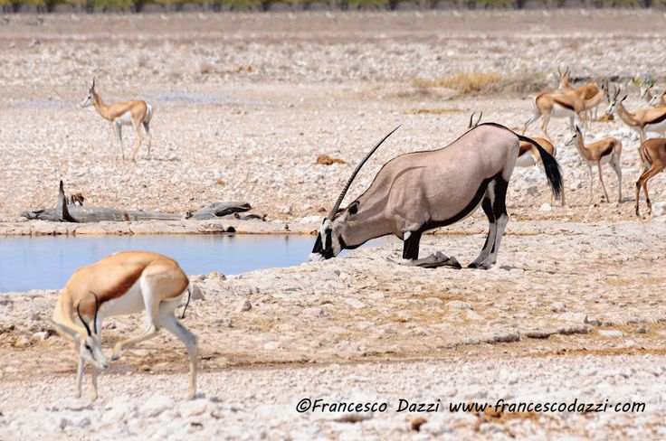 Oryx kneeling to drink in Etosha National Park, Namibia