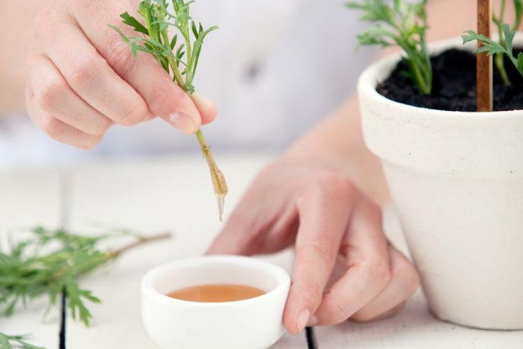 A méz mint 'gyökereztető hormon' nagyon sok növénynél kiváló eredményt produkál, ezért alkalmas a hajtások és dugványok kezelésére. Itt a recept!...