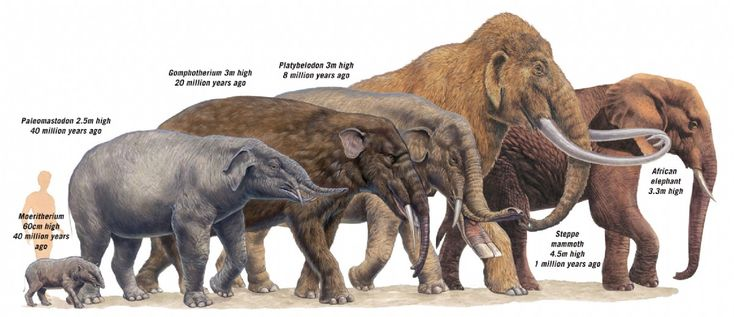 the evolution of the elephant specie essay This is for one of the elephant's most interesting physical features  henry f osborn identified some 352 proboscidean species and subspecies of which only half .