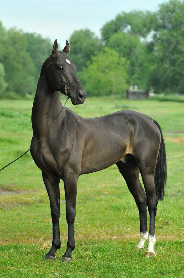 "The Akhal-Teke is also known as the ""gift from the desert"" and it was bred for its stamina and speed. It was used by Turkmen nomads. The Akhal-Teke can withstand conditions and certain situations such as going long periods of time without food and water unlike other breeds.This breed of horse is known for its sensitive nature and for its propensity for forming strong attachments to their owners. Today in modern Russia, owning an Akhal-Teke is a sign of wealth."
