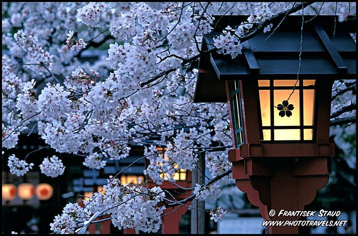 blooming cherry blossom in Kyoto, Japan - sakura <3Lights, Cherries Blossoms, Buckets Lists, Asia Travel, Cherries Trees, Lanterns, Flower, Kyoto Japan, Travel Usa