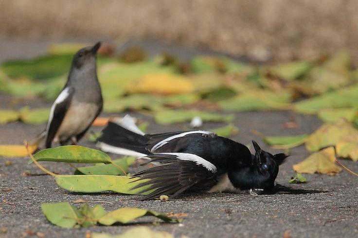 Cara Menyembuhkan Burung Kacer yang Sakit Tenggorokan