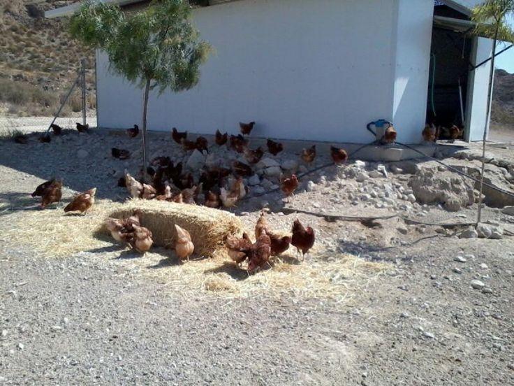 Todas las gallinas están alimentadas con piensos de calidad superior para gallinas camperas rural.