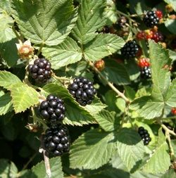 Article on growing berries for self-sufficiency - my grandfather had a 'berry orchard' in Ireland