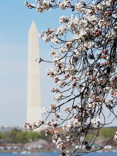 米首都ワシントンでも桜が開花