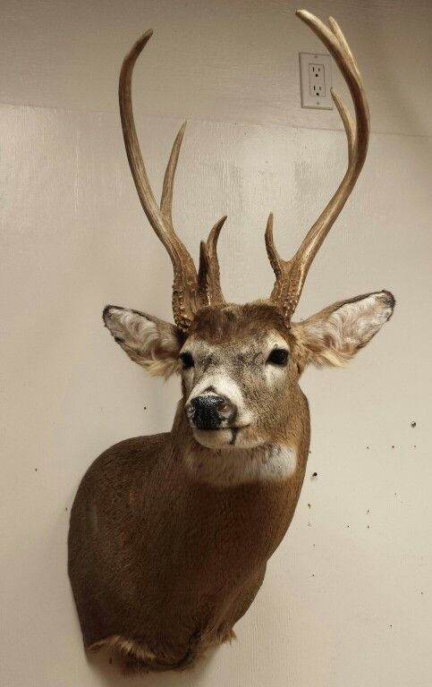 Whitetail Deer Mount Taxidermy Crazy Antlers Done By The