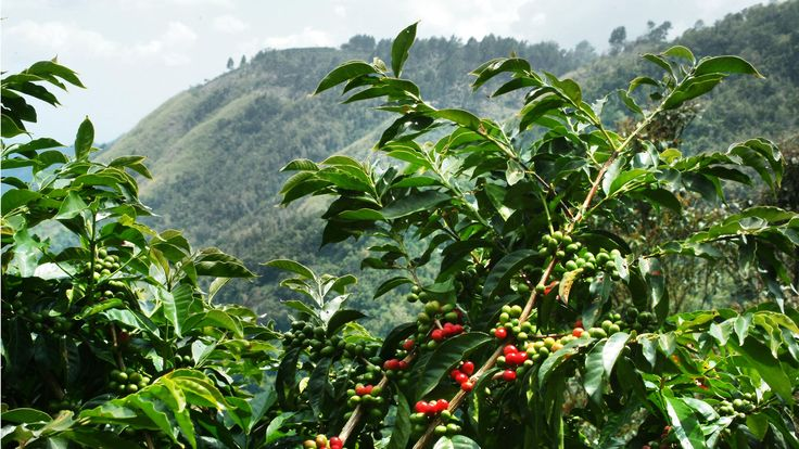 coffee cherry in blue mountain, Jamaica.