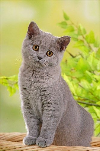 The Chartreux: Also known as a Carthusian cat, these cuties were thought to have descended from cats brought by Carthusian monks to their monastery in France's Chartreuse Mountains, hence their name.