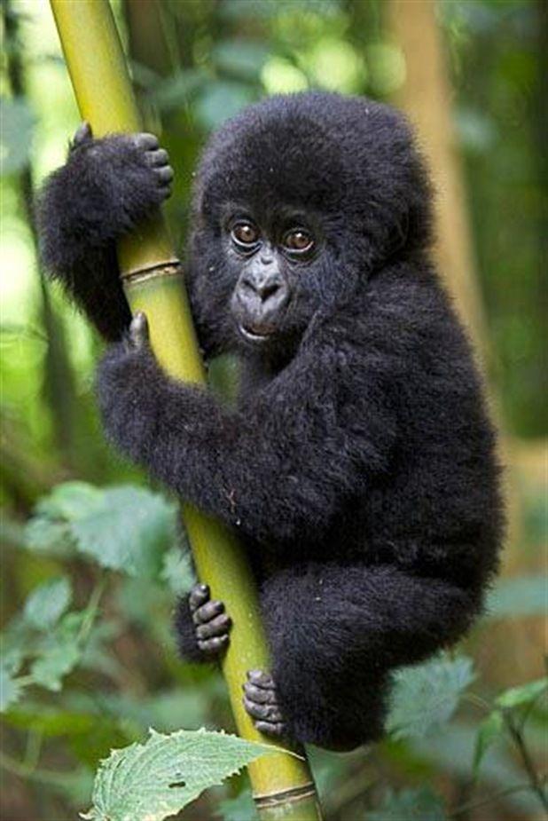 vvv Cute Mountain Gorilla Baby climbing on bamboo