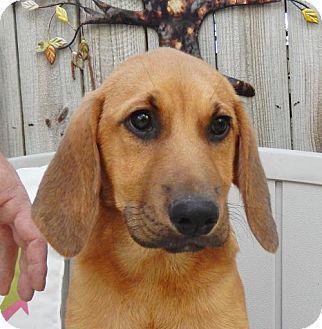 Hagerstown, MD Bloodhound Mix. Meet Gomer B, a puppy for