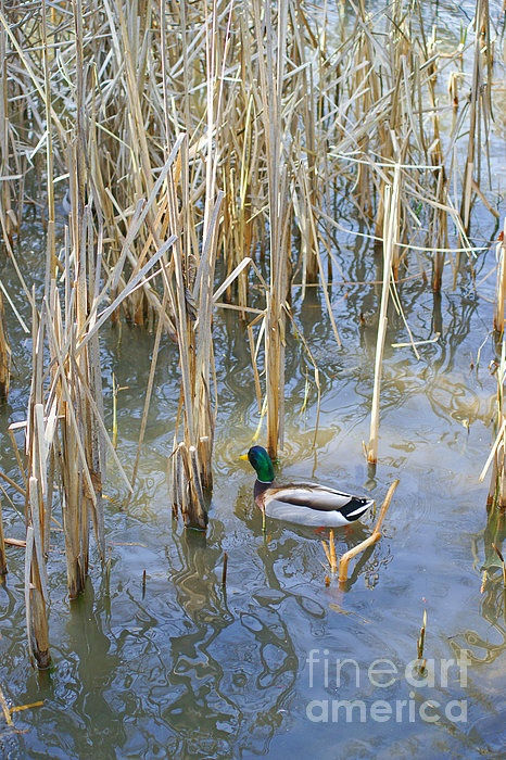Ducks in the Pond. www.rharrisphotos.com