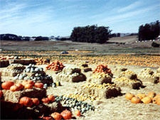 San Fran - Sacramento area of California Pumpkin Patches, Corn Mazes, Hayrides and More, Find Halloween and Fall Fun in San Fran - Sacramento area of California!