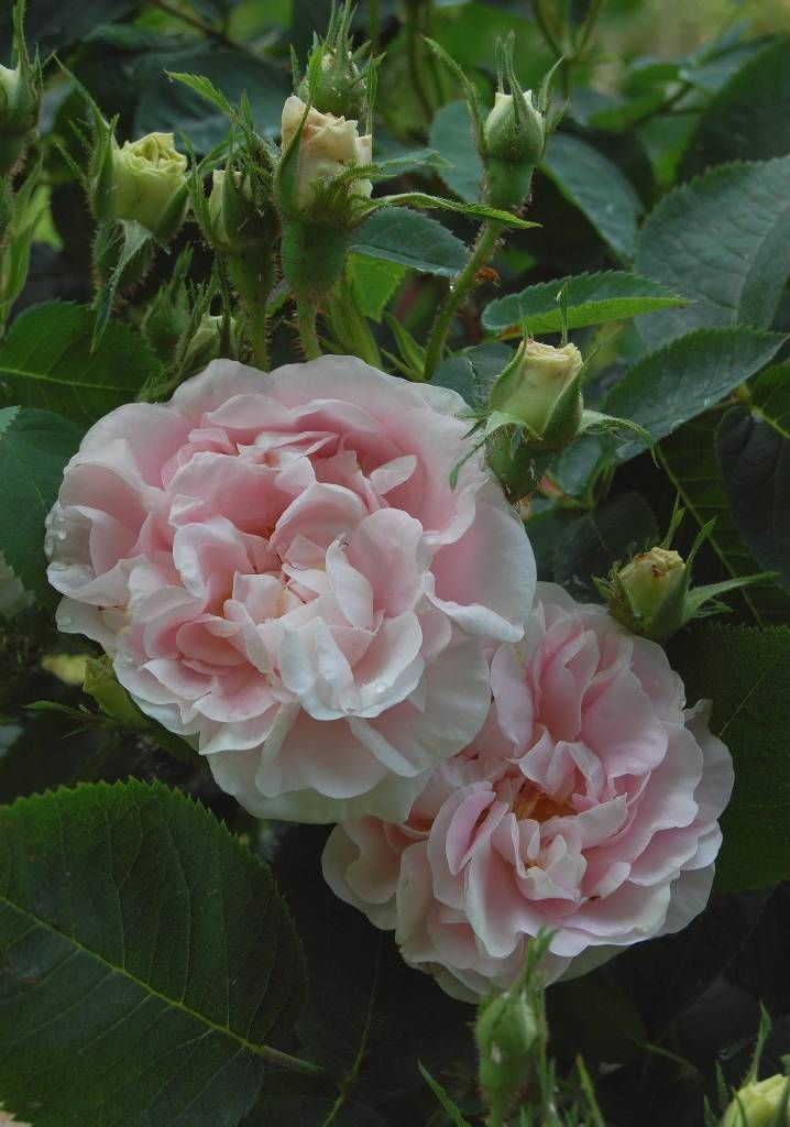 ~Rosa 'Great Maiden's Blush' AKA 'Alba Incarnata' (origins unknown, before 1400)