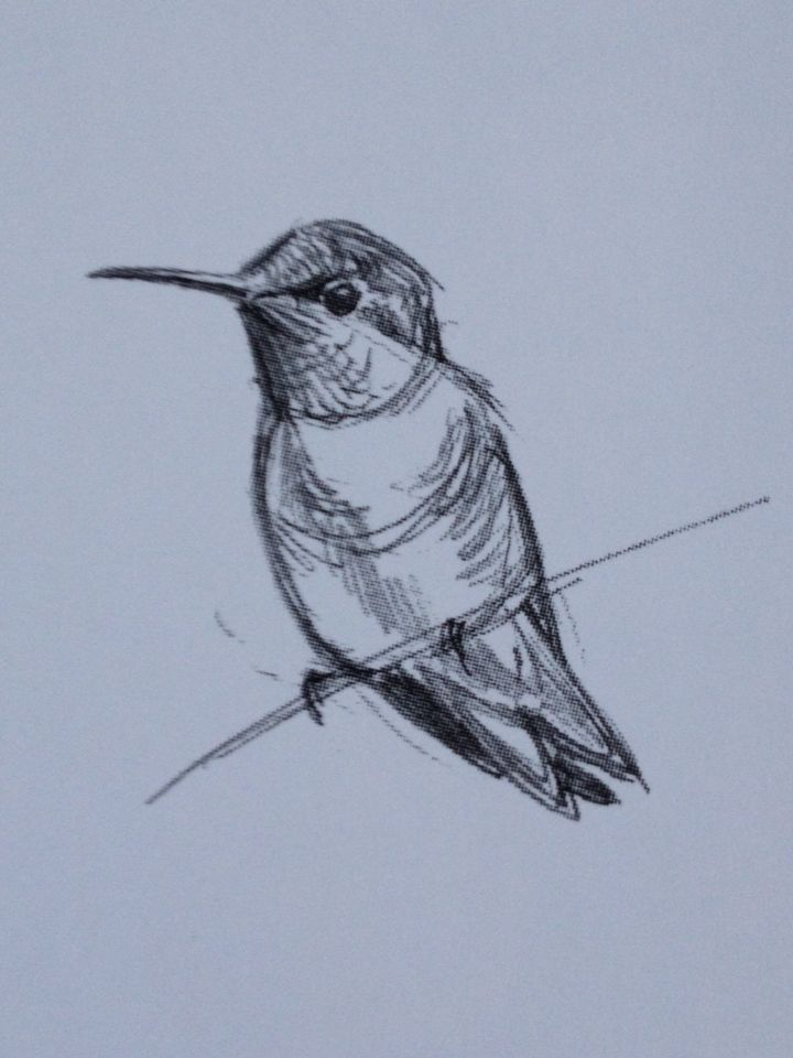 Hummingbird sketch by Julie Zickefoose
