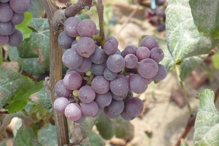 Negra Criolla (black creole).  This grape variety is non-aromatic, from the valleys of Moquegua and Tacna, possibly the oldest varieties brought by the Spanish.   Variety: Black Creole  Source: Southern Spain Canary Islands  Main uses: Pisco, Red Wines  Plant vigor: Good  Shape and size of the bunches: Conic, large elongated  Form. Size and color of the grain: flat, medium, reddish purple or black  Harvest Time: March  Great presence in: Moquegua and Tacna