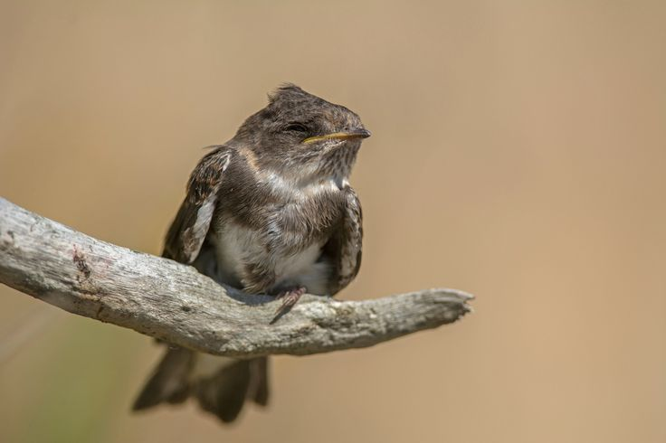 https://flic.kr/p/vmRWQL | Juvenile Sand Martin | At the Danish west coast many Sand Martin's are nesting. This young must have felt out of the nest, because I saw it crawling up this branch. I guess it was waiting for one of his parents.