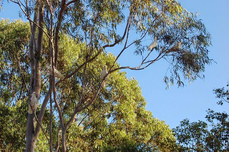 Amongst Gum Trees: Like a mad cockatoo