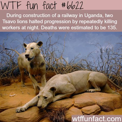 Tsavo lions that killed more than 100 people - WTF fun facts